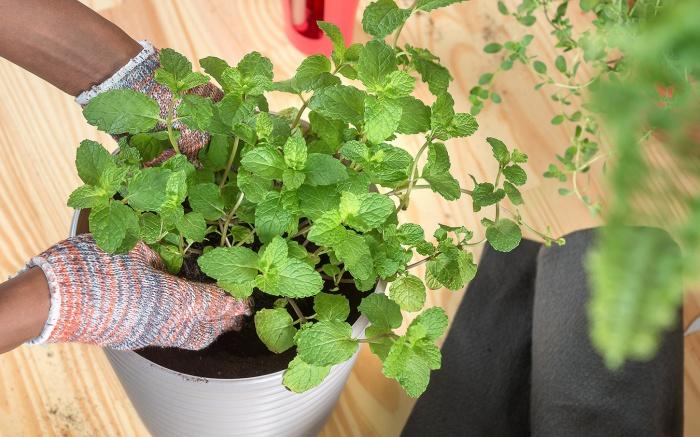 Passo 4: Finalize colocando a muda do chá e regue para deixar a planta hidratada!